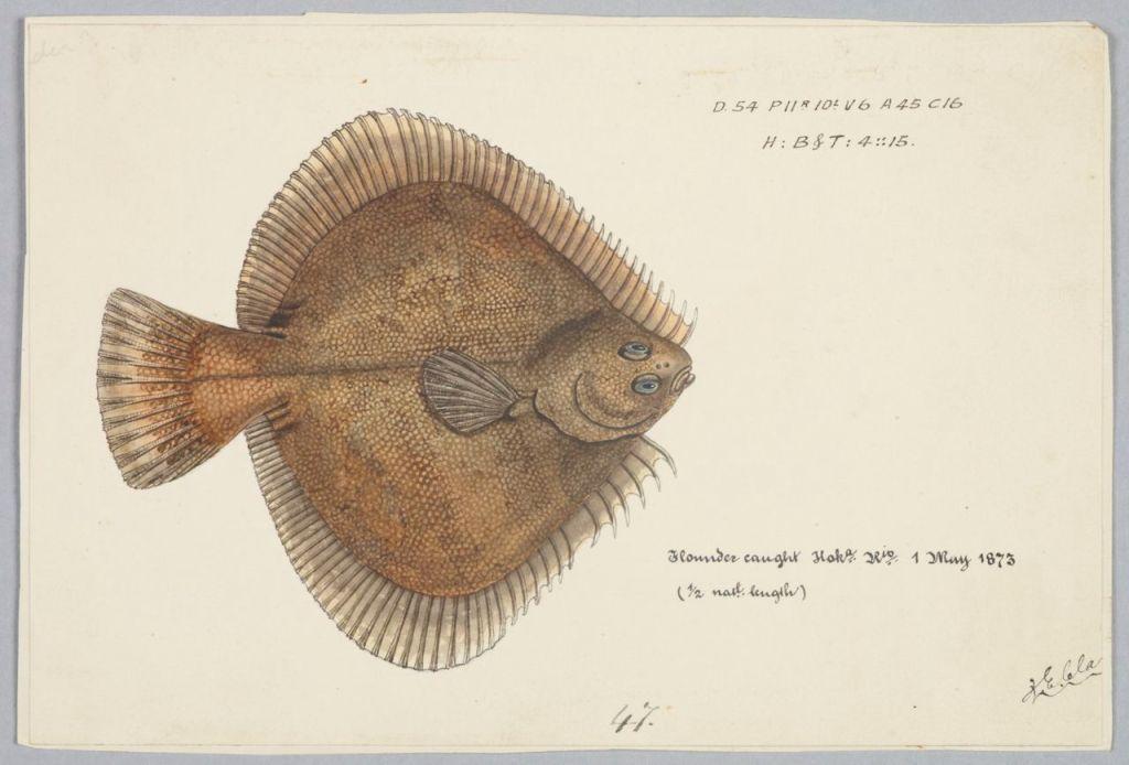 flounder_resized