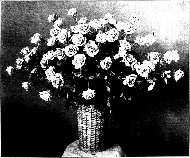 roses-florists weekly