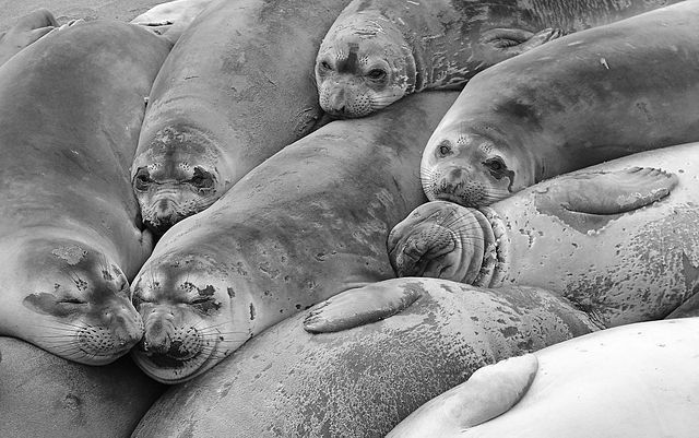 seal-colony-b&w