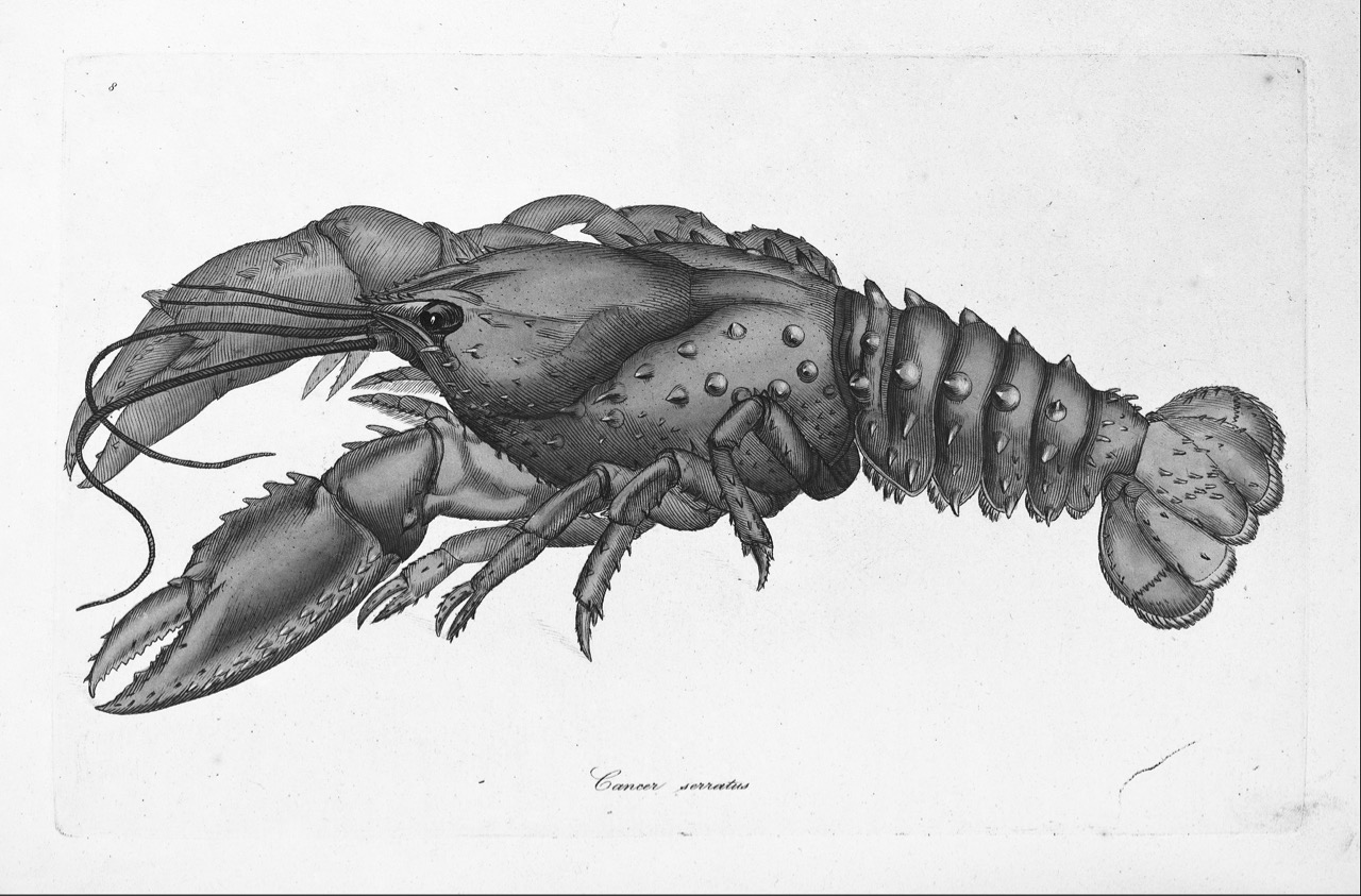 James_Sowerby_-_Serrated_Lobster,_Cancer_serratus_-_Google_Art_Project (1)
