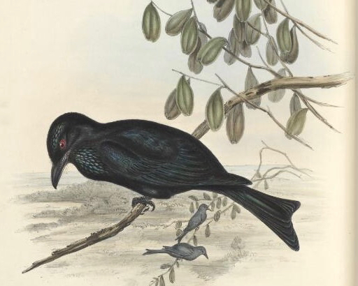 Goulds spangled drongo