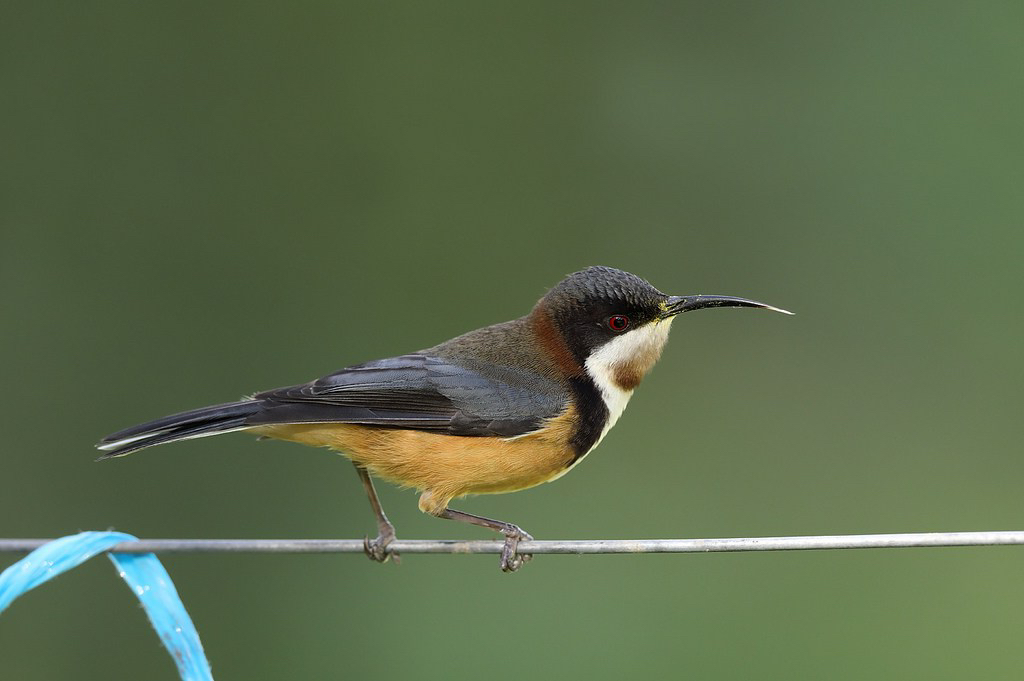 eastern-spinebill.jpg