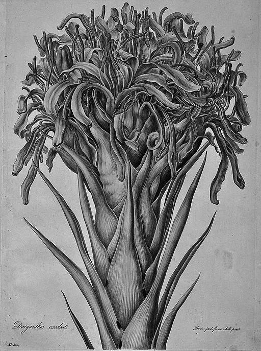 Gymea Lily_(Illustrationes_Florae_Novae_Hollandiae_plate_13) (1)