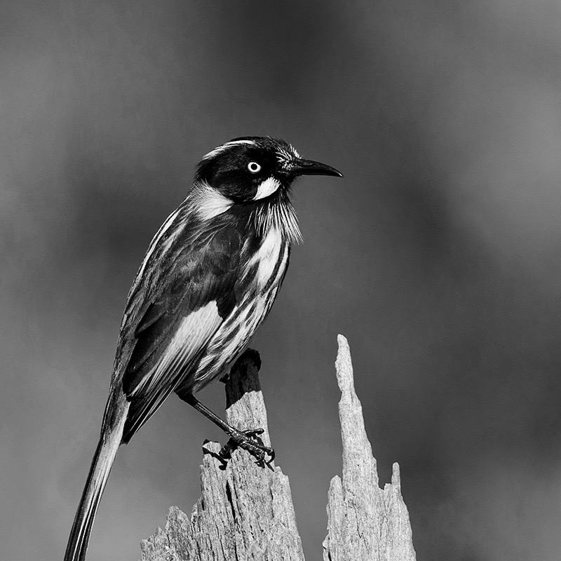 New_Holland_Honeyeater_(Phylidonyris_novaehollandiae)_(15048717286)-2
