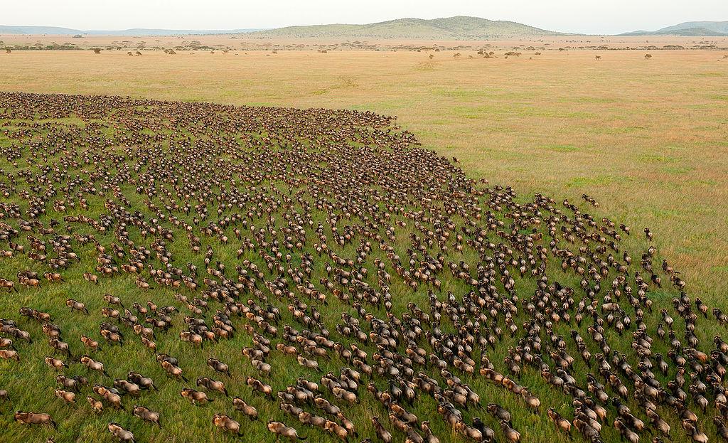 1024px-Wildebeest_Migration_in_Serengeti_National_Park,_Tanzania