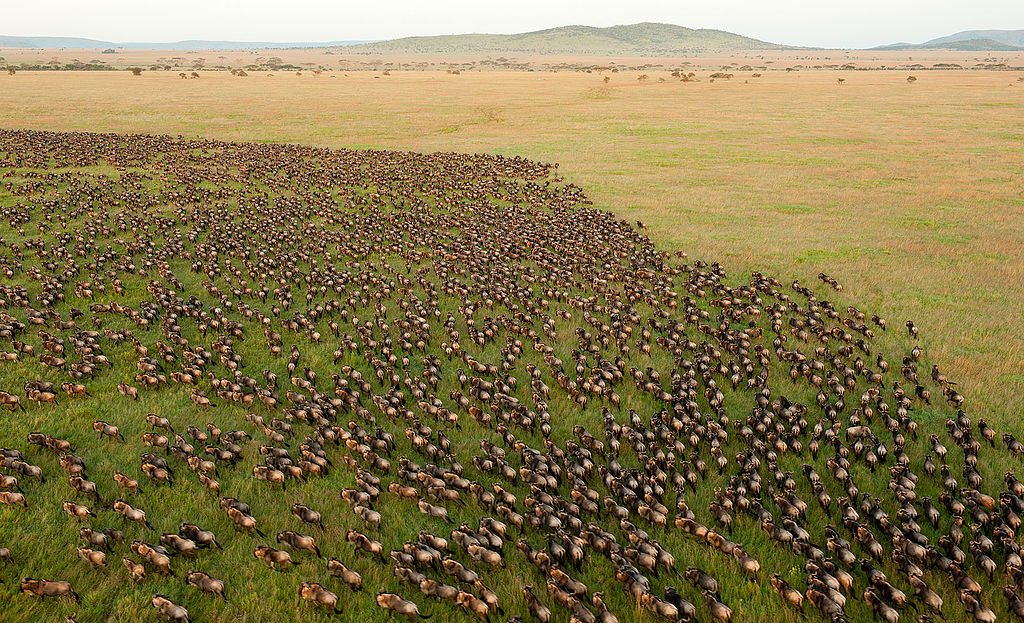 1024px-Wildebeest_Migration_in_Serengeti_National_Park,_Tanzania